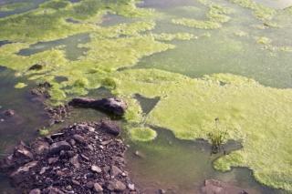 Green Algae in pond